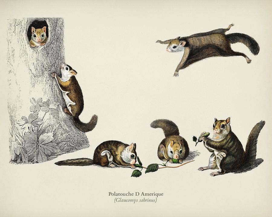 Animal Painting - Glaucomys Sabrinus  Polatouche D Amerique  Illustrated By Charles Dessalines D Orbigny  1806 1876  by Celestial Images