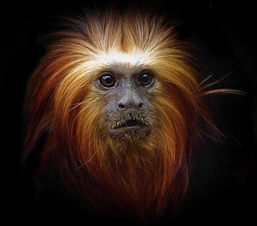 Golden Headed Lion Tamarin Photograph by Photo By Steve Wilson