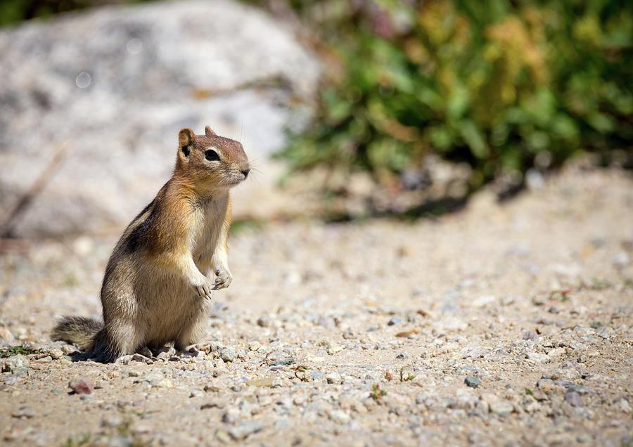 Golden Mantled Ground Squirrel by Michael Chatt