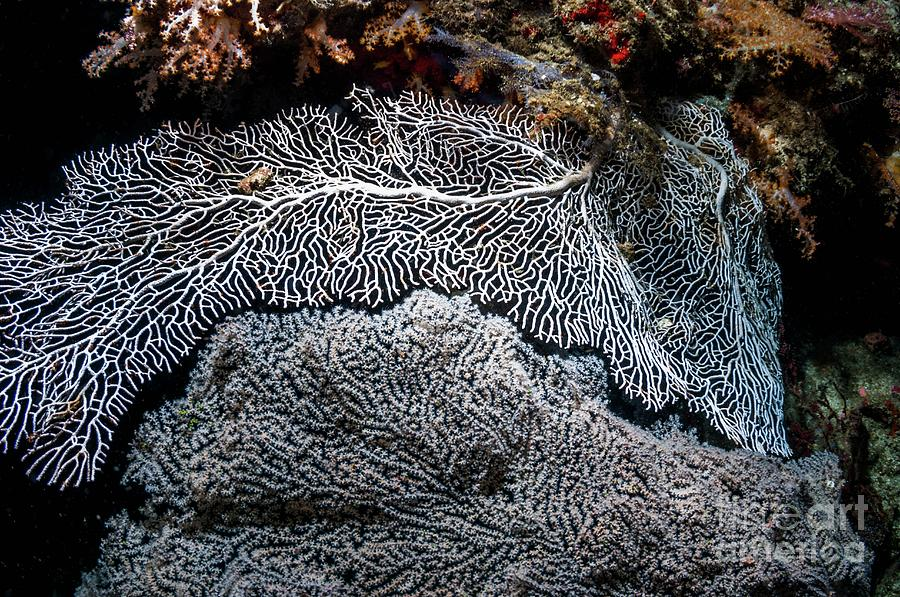 Animal Photograph - Gorgonian Sea Fan On A Coral Reef by Georgette Douwma/science Photo Library