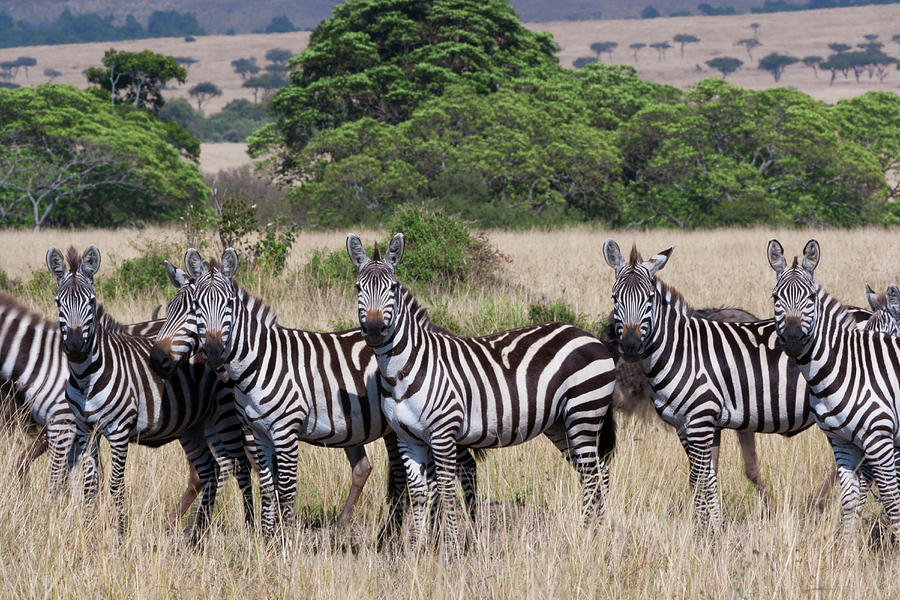 Grants Zebras, Kenya Photograph by Mint Images/ Art Wolfe