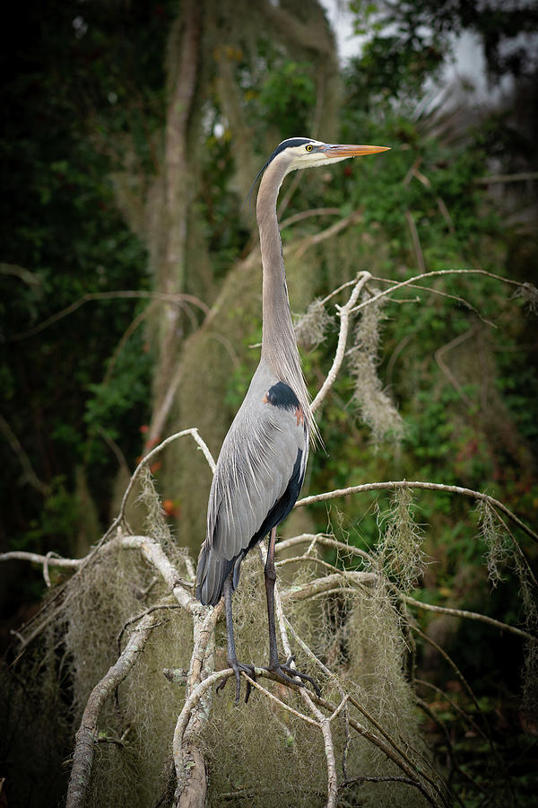 Great Blue Heron  by Kenny Nobles