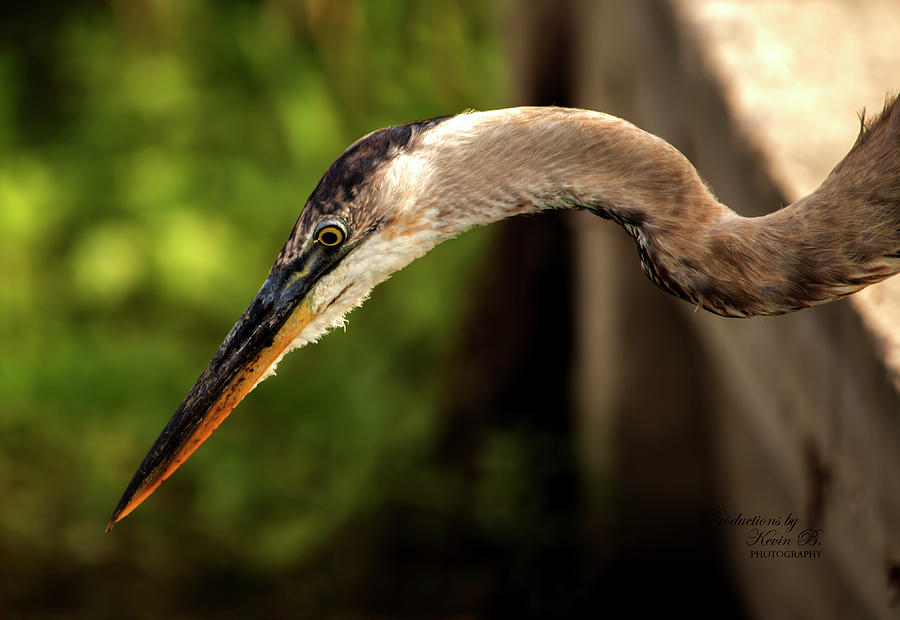 Great Blue Heron by Kevin Banker