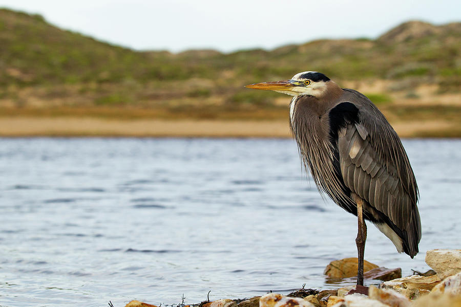Great Blue Heron, Point Reyes Photograph by Sebastian Kennerknecht