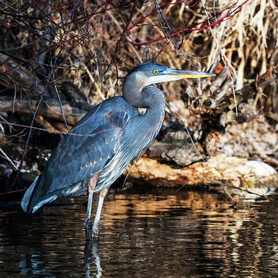 Great blue heron by Vishwanath Bhat