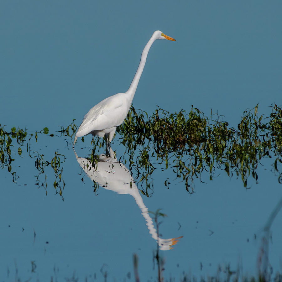 Great Egret by Ken Stampfer