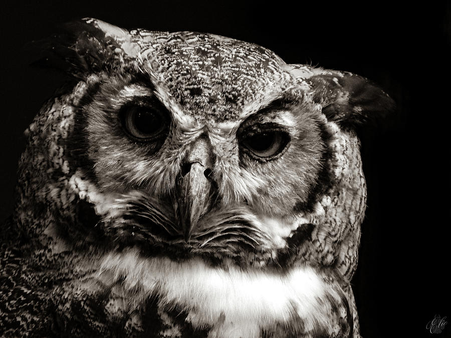 Owl Photograph - Great Horned Owl by Elie Wolf