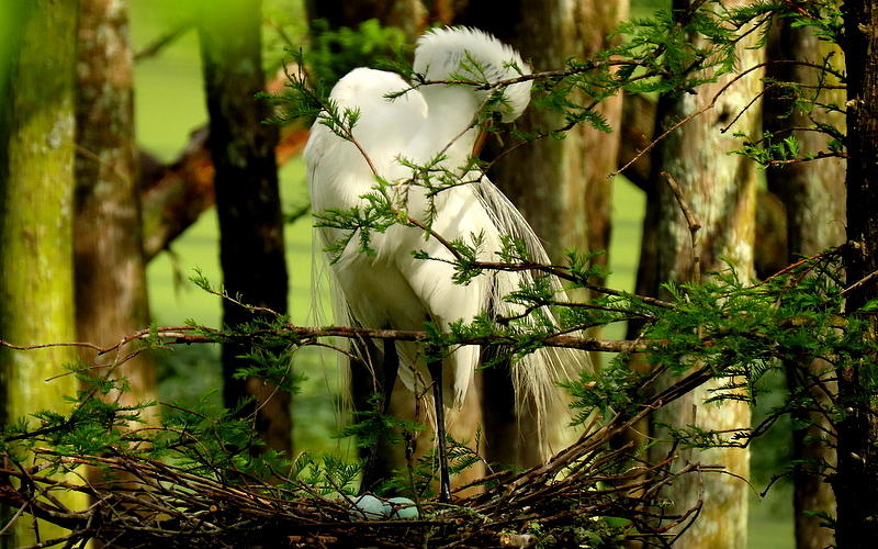 Great White Egret and eggs by Betty Berard