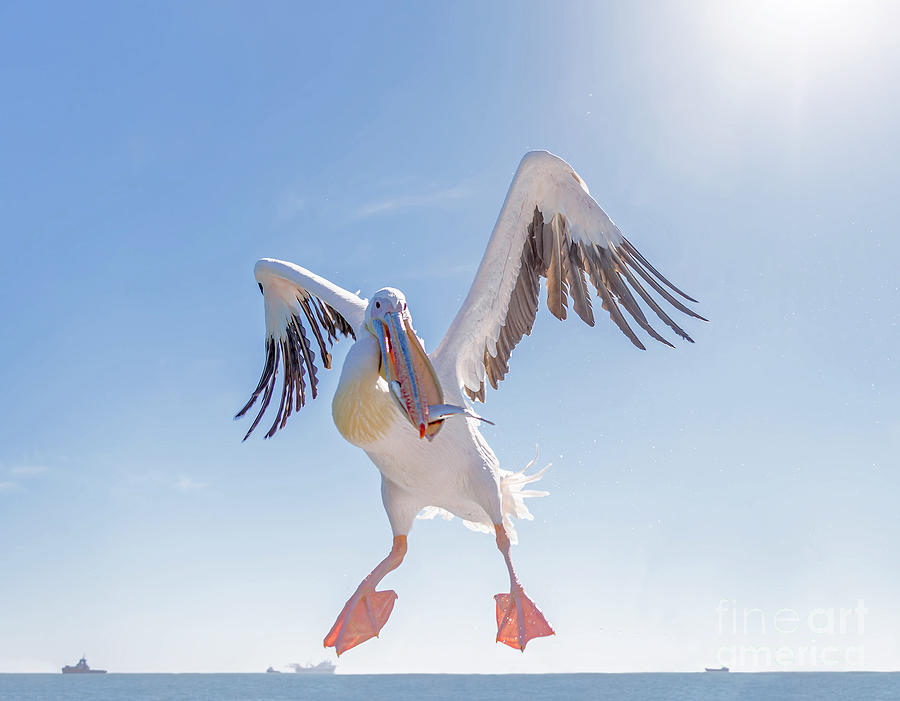 Feather Photograph - Great White Pelican Catches Fish Thrown by Vadim Petrakov