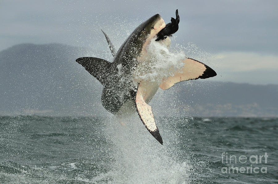 Fur Photograph - Great White Shark Carcharodon by Sergey Uryadnikov