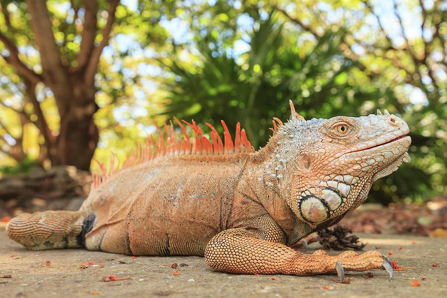 Bay Islands Photograph - Green Iguana Farm, East End Of Roatan by Stuart Westmorland