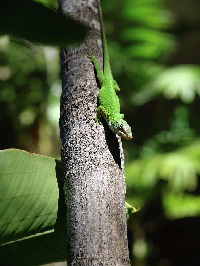 Green Photograph - Green Lizard by Robert Braley