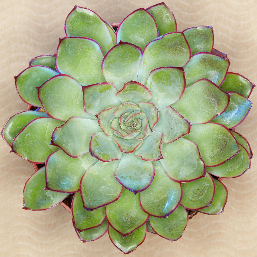 Green Succulent Plant Photograph by Win-initiative