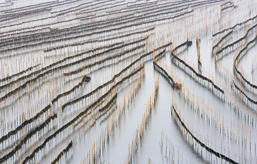 Harvesting Kelp Photograph by Xinhua Zhou