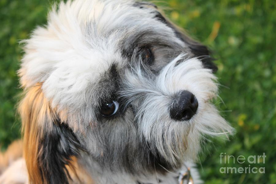 Havanese by Michael Graham