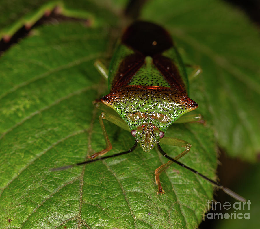 Hawthorn Shield bug by Brian Roscorla