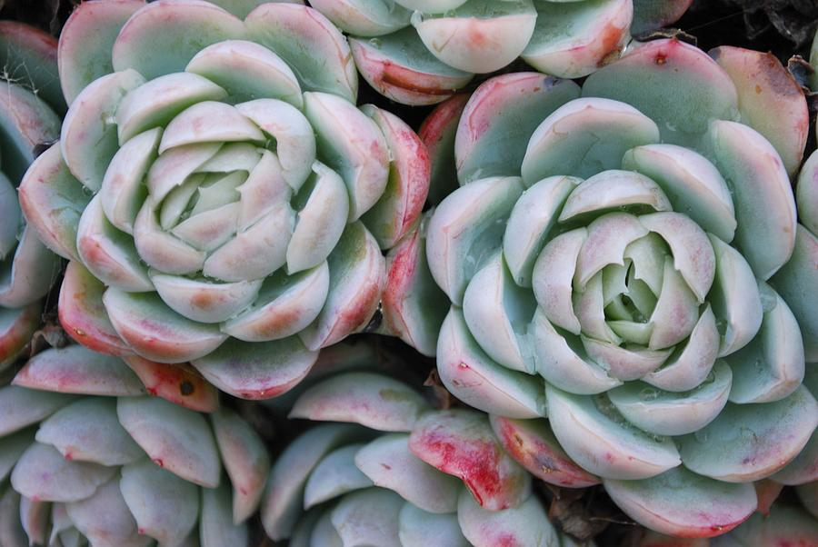 Hens And Chicks Succulent Photograph By Lazingbee