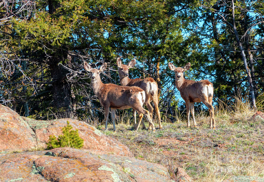 Herd of Deer on the Mountainside by Steve Krull