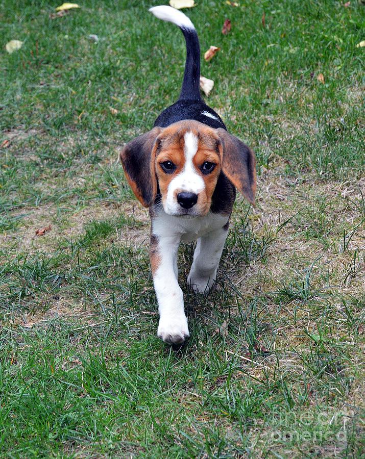 Hermine The Beagle by Thomas Schroeder