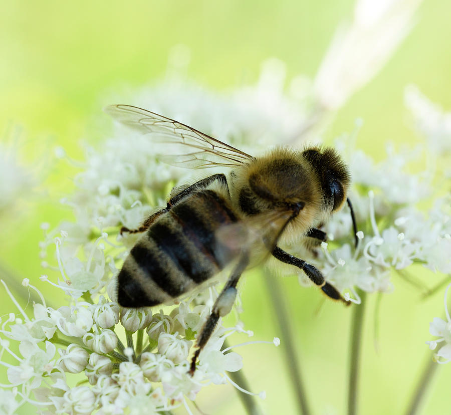 Bee Photograph - Honey Bee On Wild Carot Flower by Iris Richardson