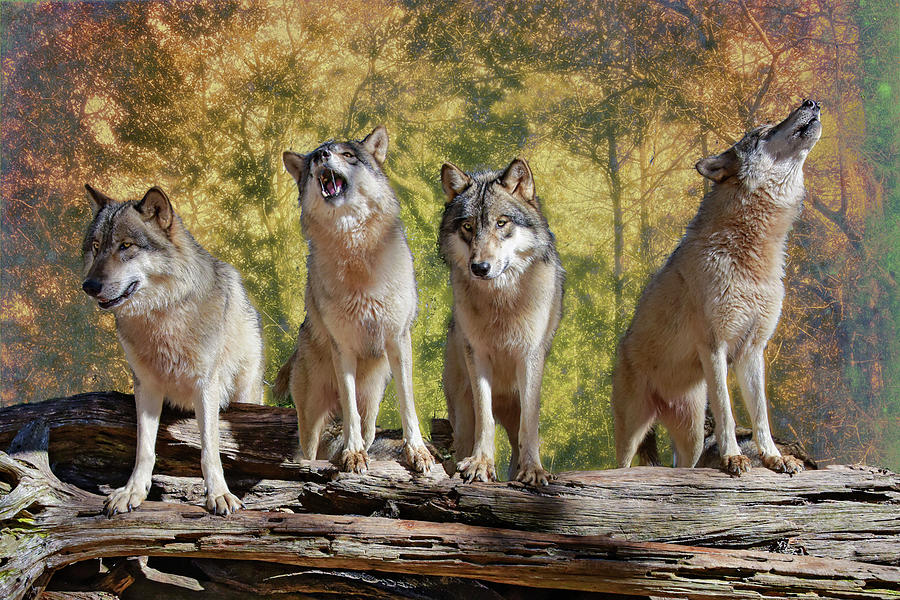 Wolf Photograph - Howling Wolves by Jeannee Gannuch