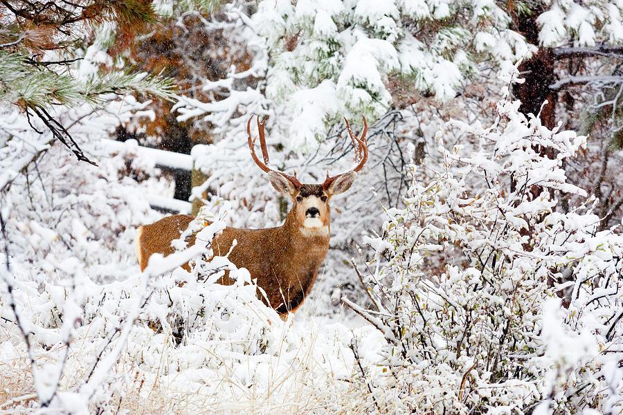 Huge Buck Mule Deer In Snow Photograph