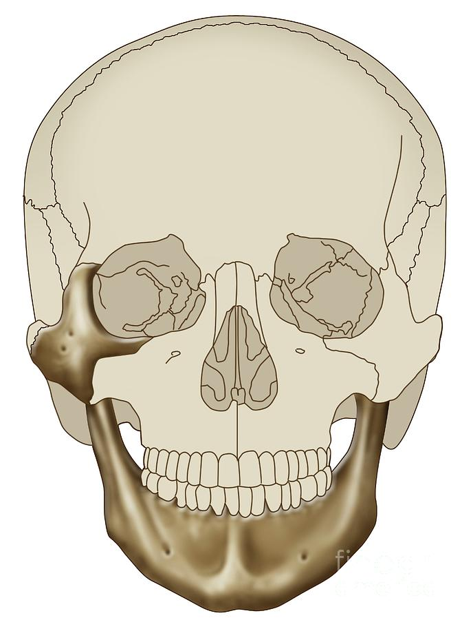 Skull Photograph - Human Skull by Maurizio De Angelis/science Photo Library