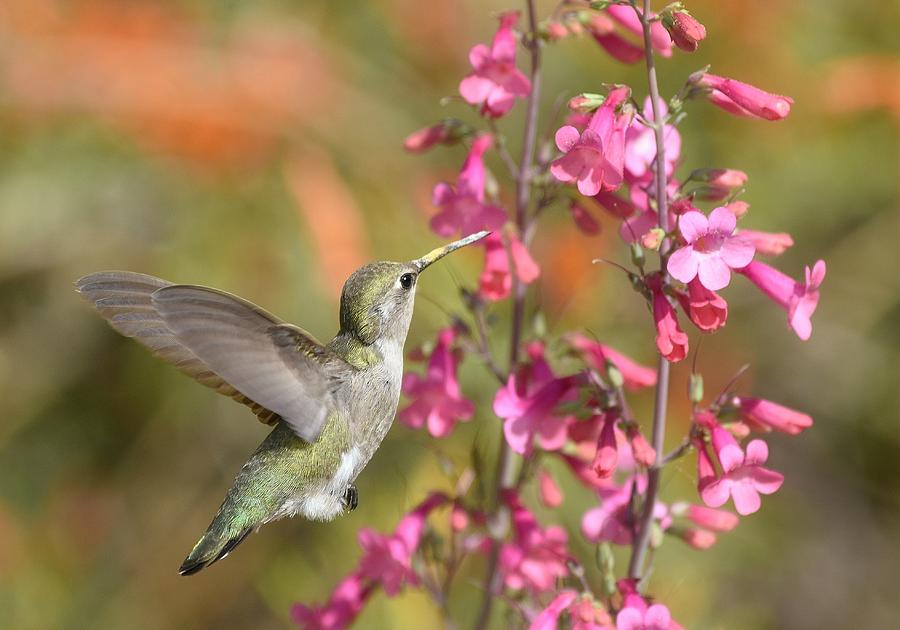Hummingbird Buffet by Fraida Gutovich