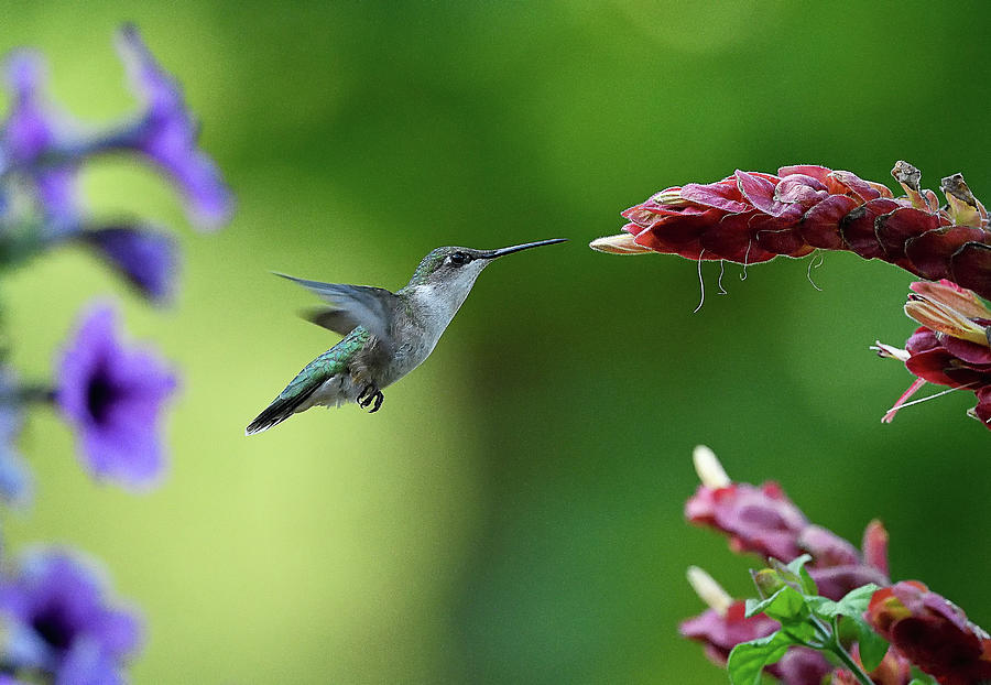 Hummingbird Heaven by William Jobes