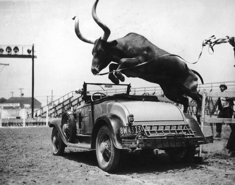 Hurdling Steer Photograph by Fpg