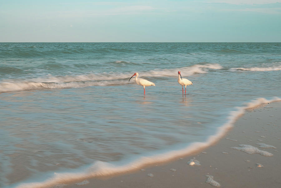 ibis by Bill Martin