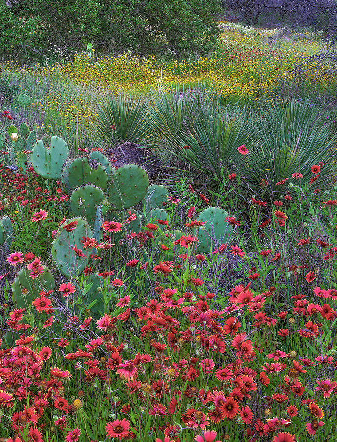Mp Photograph - Indian Blanket Flowers And Opuntia by Tim Fitzharris