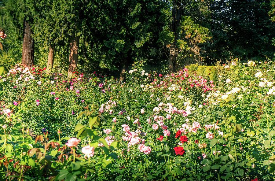 International Rose Test Garden 1 Photograph By Art Spectrum