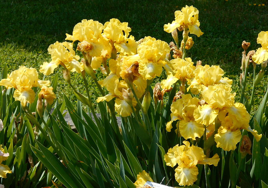 Another Iris Garden by Barbara Keith