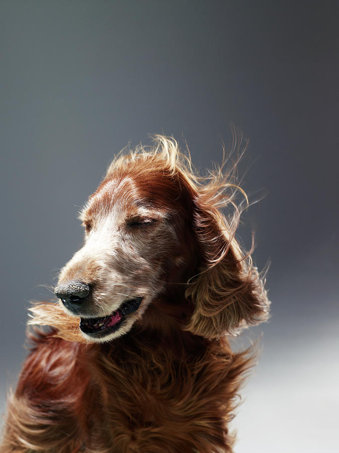 Irish Red Setter Photograph by Michael Blann