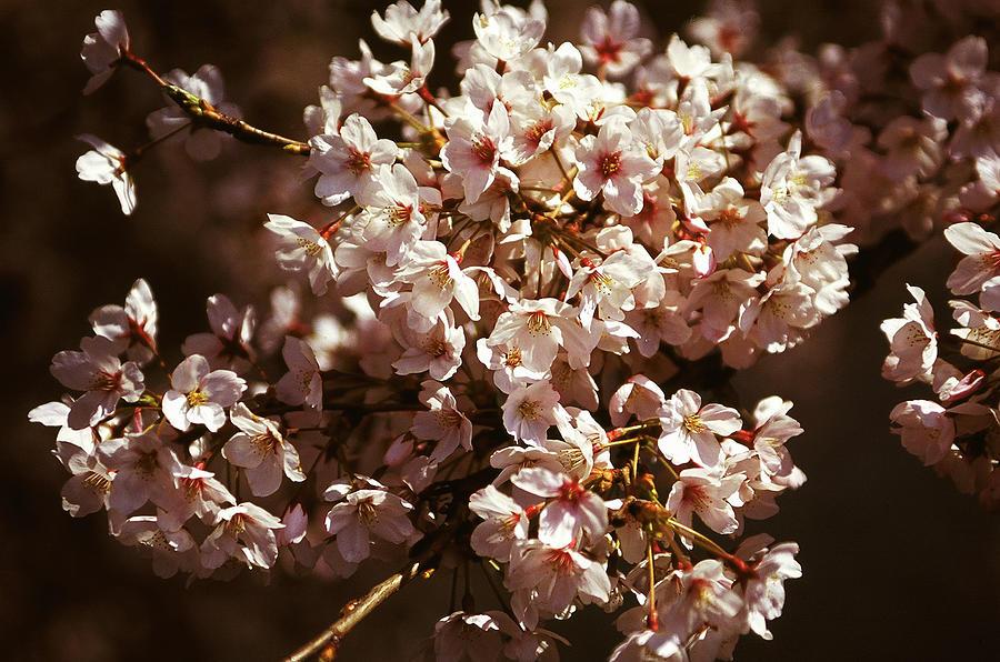 Japan - Sakura Photograph by Boaz Rottem