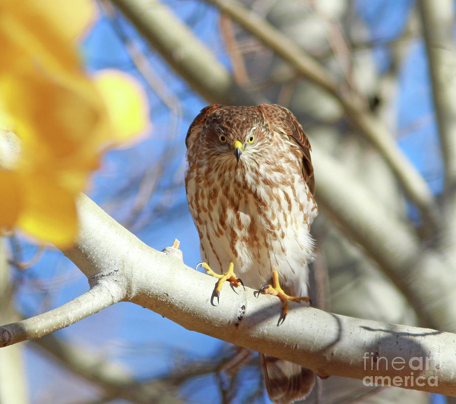 Cooper's Hawk Photograph - Juvenile Coopers Hawk  by Gary Wing