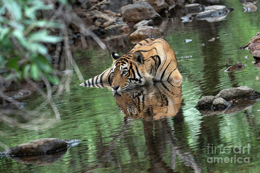 Animal Photograph - Keeping Cool by Pravine Chester