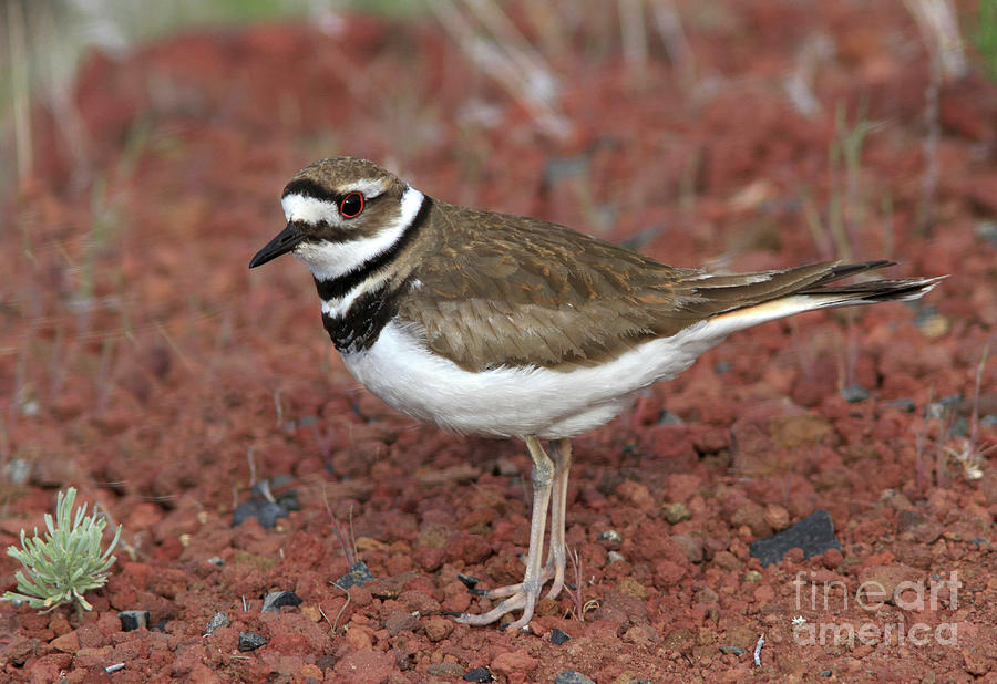 Killdeer Photograph - Killdeer by Gary Wing