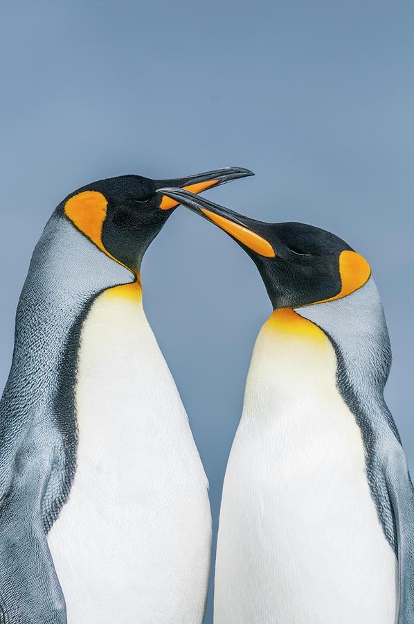 King Penguin Pair, Falklands Photograph by Tui De Roy