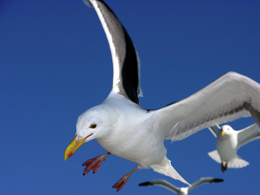 close up of seagull in flight by David Shuler