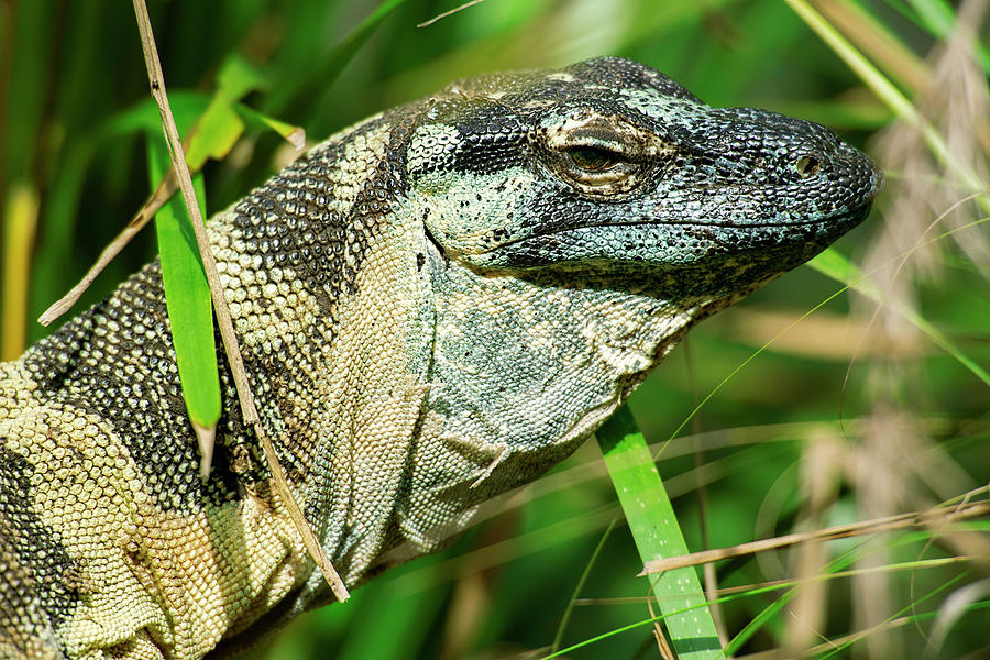 Lace monitor during the day. by Rob D Imagery