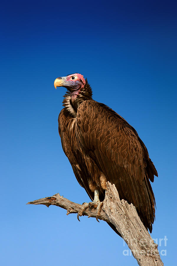 Big Photograph - Lappetfaced Vulture Against Blue Sky 1 by Johan Swanepoel