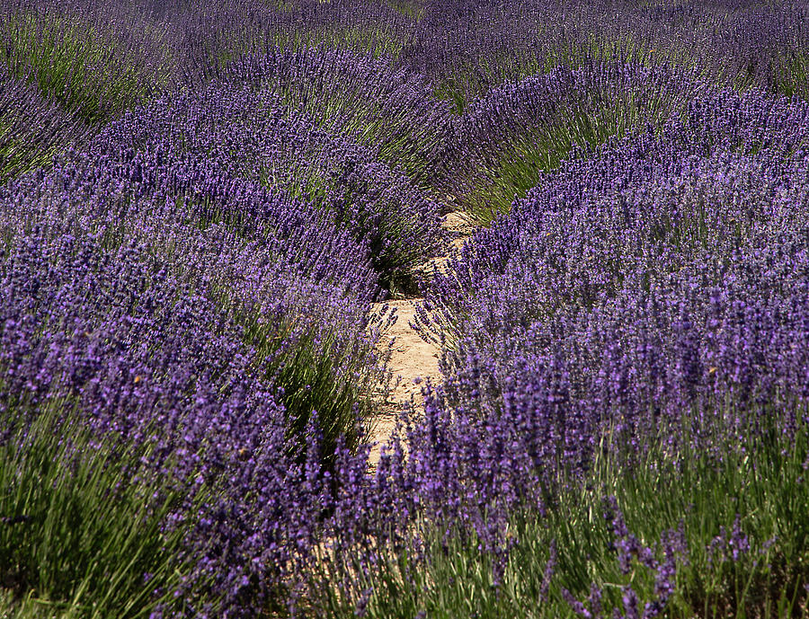 Lavender Field by Dart Humeston