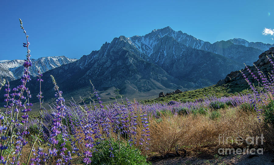 Mt Whitney Photograph - Lavender In Bloom by Stephen Whalen