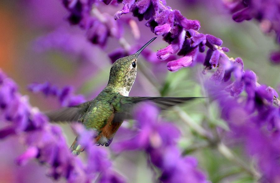 Lavender Lover 2 by Fraida Gutovich