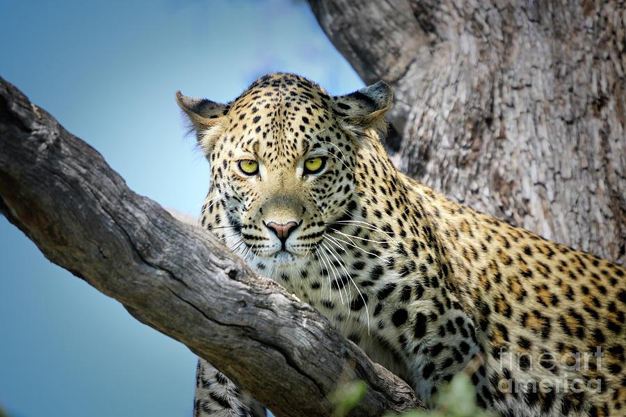 Leopard In Tree by Timothy Hacker