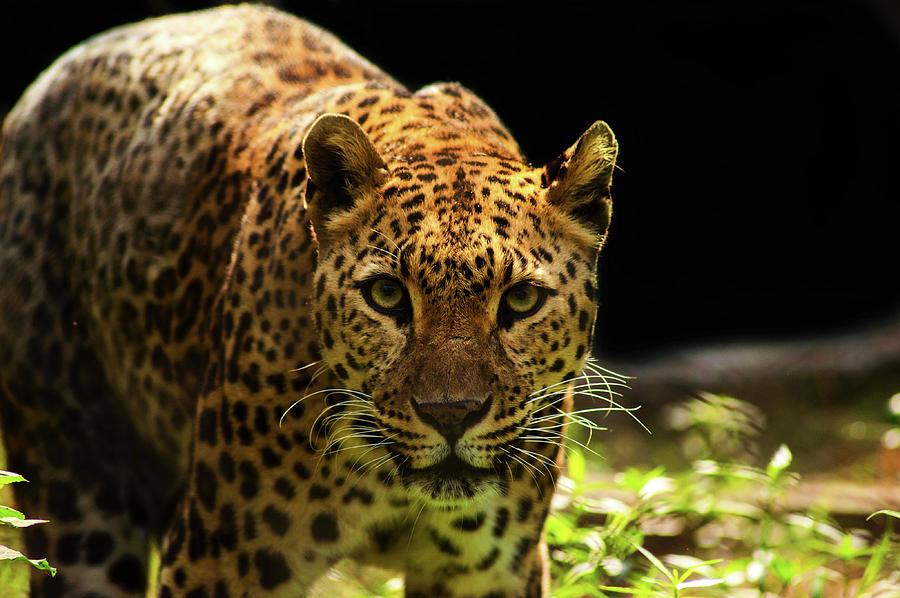 Leopard Photograph by Somak Pal