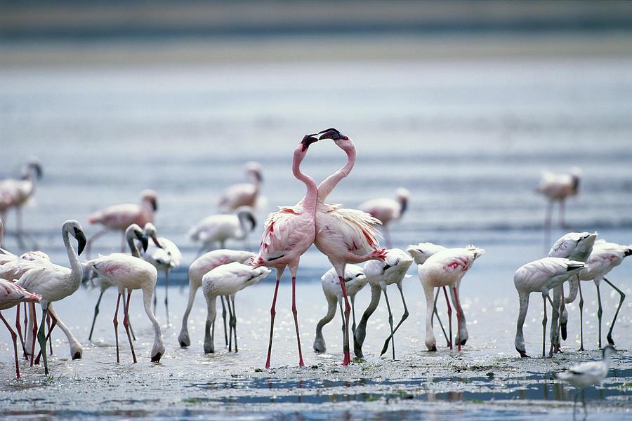 Lesser Flamingoes Phoeniconaias Minor Photograph by Paul Souders