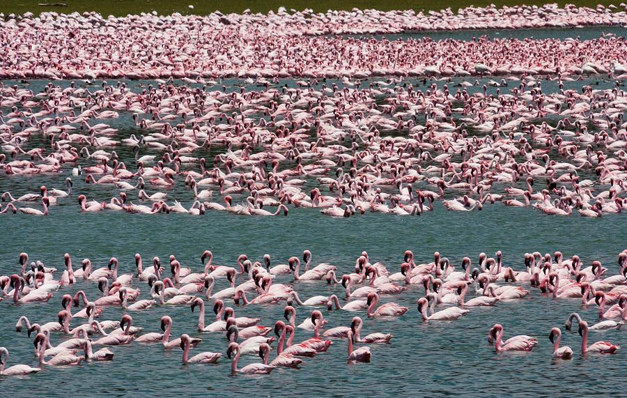 Lesser Flamingos, Lake Narasha, Kenya Photograph by Mint Images/ Art Wolfe